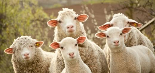 Schaf----Ziegenmist